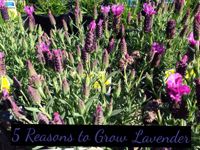 5 Reasons to grow lavender